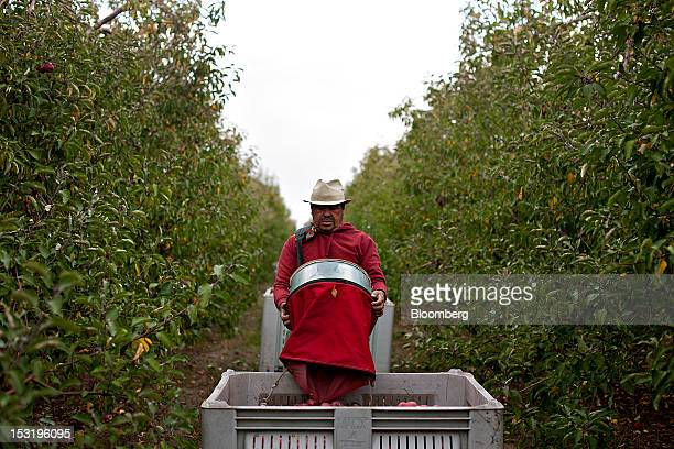 Laborer Matias Jaramillo drops apples into a bin at a Royal J Klein Son's orchard that will complete harvest over a month earlier than normal in...