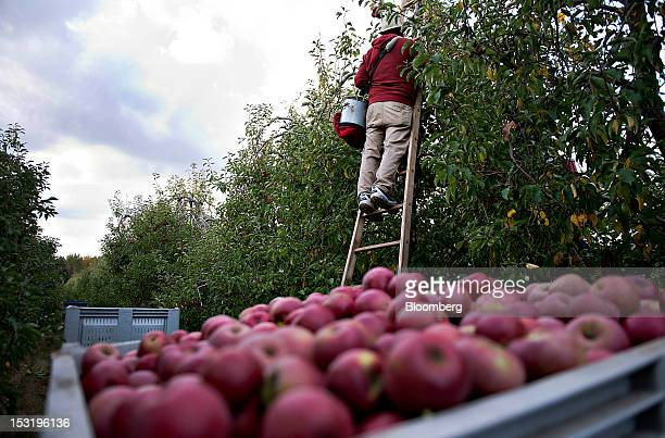 Laborer Matias Jaramillo picks Rome apples from a tree in the last remaining rows at a Royal J Klein Son's orchard that will complete harvest over a...