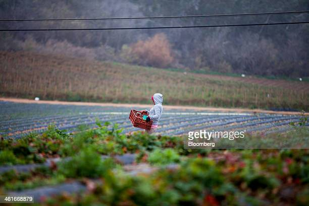 A laborer picks strawberries at JR Organics Farm in Escondido California US on Thursday Jan 9 2014 A group of organic food producers and nonprofit...