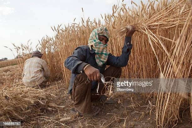 Laborers harvest wheat by hand in the district of Jalandhar in Punjab India on Tuesday April 16 2013 Wheat harvest in India the secondbiggest grower...