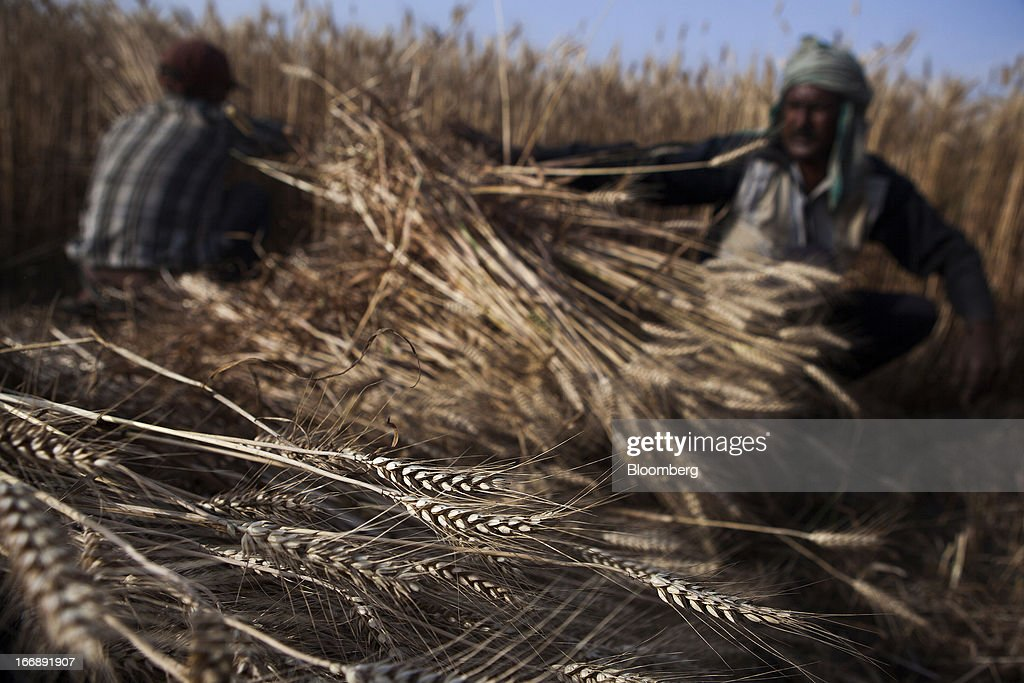Laborers harvest wheat in the district of Jalandhar in Punjab, India, on Monday, April 15, 2013. Wheat harvest in India, the second-biggest grower, may reach a record for a sixth straight year after farmers increased use of high-yielding seeds and winter rains boosted crop prospects, a state-run researcher said. Photographer: Prashanth Vishwanathan/Bloomberg via Getty Images