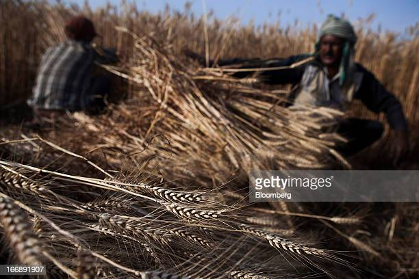 Laborers harvest wheat in the district of Jalandhar in Punjab India on Monday April 15 2013 Wheat harvest in India the secondbiggest grower may reach...