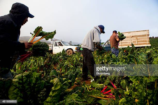 Laborers pick chard at JR Organics Farm in Escondido California US on Thursday Jan 9 2014 A group of organic food producers and nonprofit food safety...