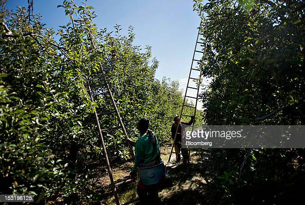 Laborers pick Rome apples from the last remaining rows at a Royal J Klein Son's orchard that will complete harvest over a month earlier than normal...
