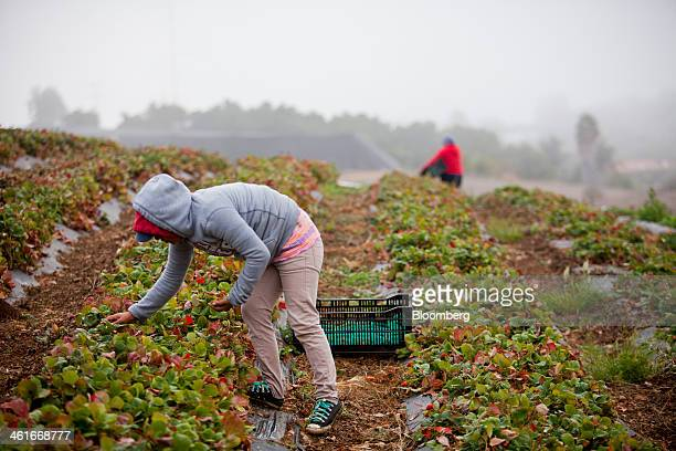 Laborers pick strawberries at JR Organics Farm in Escondido California US on Thursday Jan 9 2014 A group of organic food producers and nonprofit food...