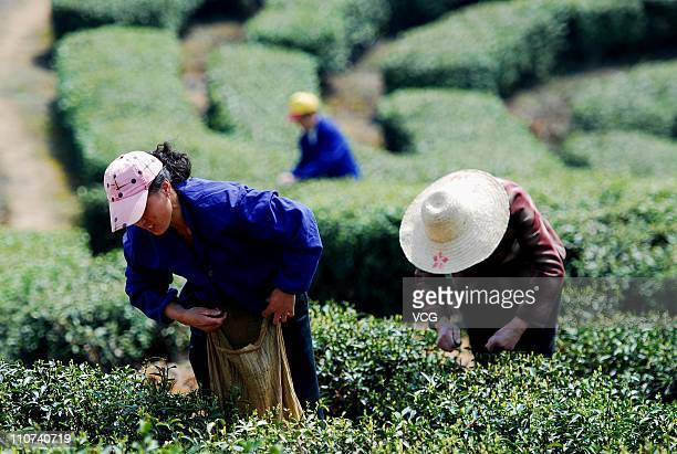 Laborers' pluck Lushan Clouds and Mist Green Tea on a hill on March 23 2011 in Lushan Jiangxi Province of China Wednesday the Chinese government...