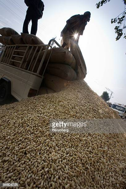 Laborers unload peanuts for an auction on the outskirts of Jaipur India on Monday Jan 28 2008 Indian farmers reduced sowing of oilseeds mainly...
