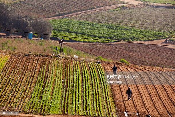Laborers walk through the fields at JR Organics Farm in Escondido California US on Thursday Jan 9 2014 A group of organic food producers and...
