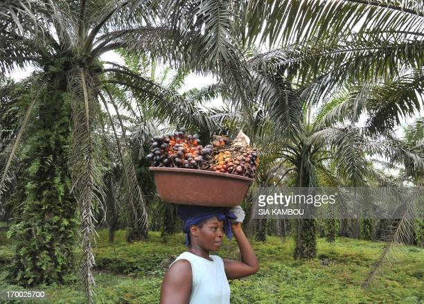 A labourer carries freshly cut palm fruits to be used in making palm oil at a plantation run by an Ivory Coast palm oil research center in Alame near...