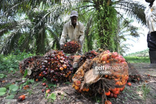 A labourer gathers freshly cut palm fruits to be used in making palm oil at a plantation run by an Ivory Coast palm oil research center in Alame near...