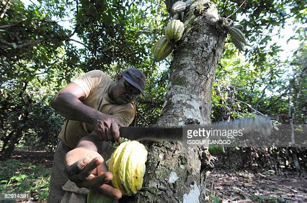KOFFI A labourer harvest biogrown cacao bean pods on September 2 2008 on plantation in Toumokro some 250km north of capital Abidjan As number one...