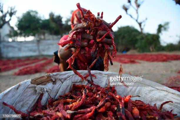 A labourer spreads out red chillies to dry at a farm in Sertha some 25 km from Ahmedabad on March 2 2020