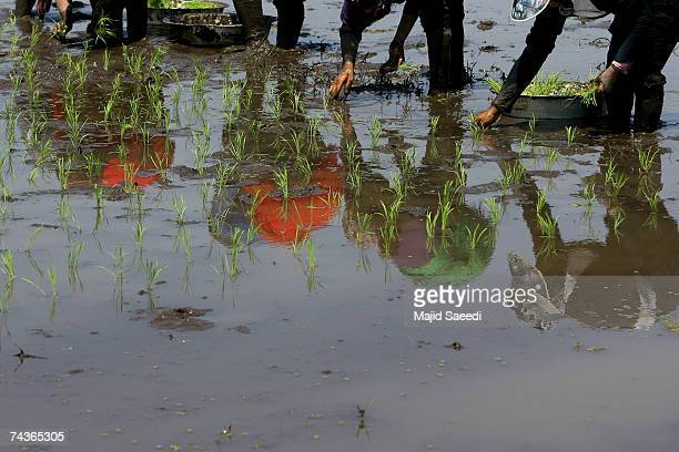 Labourers sow rice in a paddy field on May 17, 2007 near Talesh, Northern-Western Iran. Rice in its various forms is the most consumed cereal,...