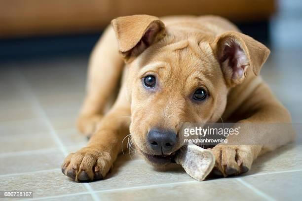 Labrabull Puppy dog chewing on bone