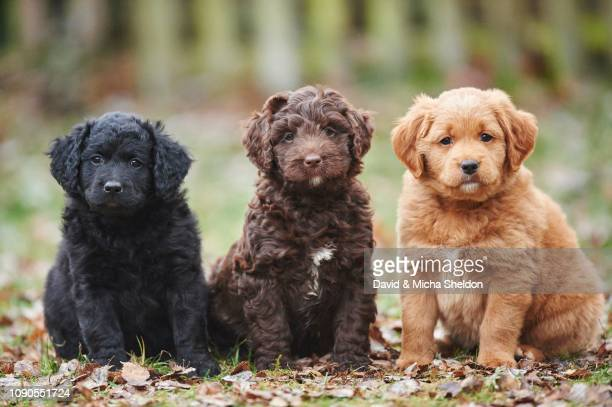 labradoodle, aussiedoodle, puppies, mixed breed dog, germany - labradoodle stock-fotos und bilder
