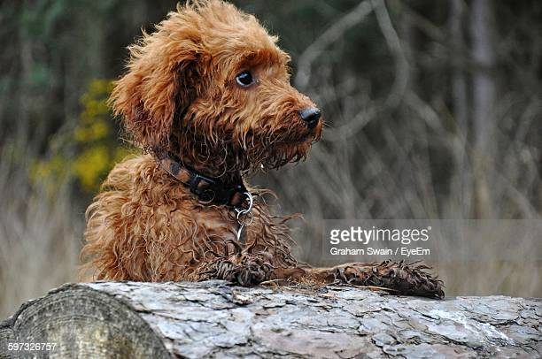 labradoodle by tree stump - labradoodle stock photos and pictures