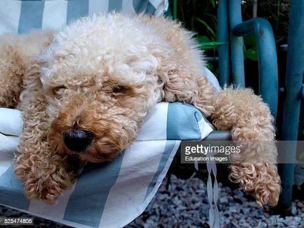 Labradoodle dog asleep on a garden swing seat UK