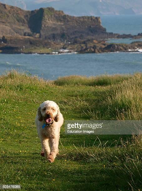 Labradoodle dog on the coast path Bude Cornwall UK