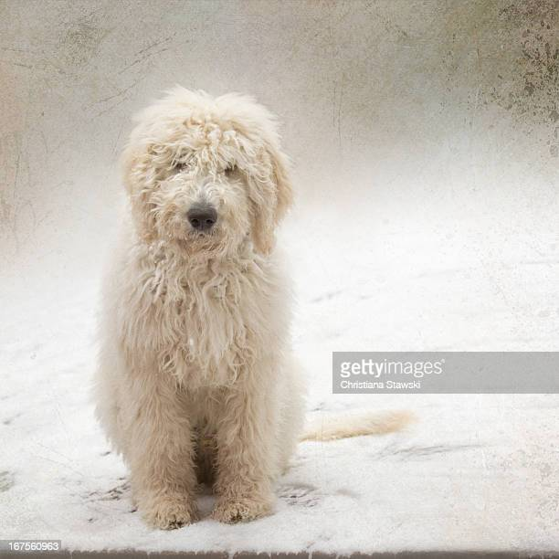labradoodle dog sitting in snow - labradoodle stock photos and pictures