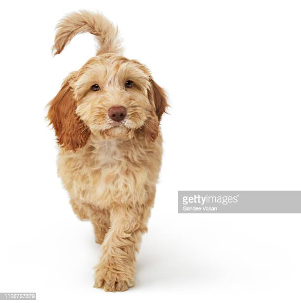 labradoodle dog walking towards camera while looking at camera - cute stock pictures, royalty-free photos & images