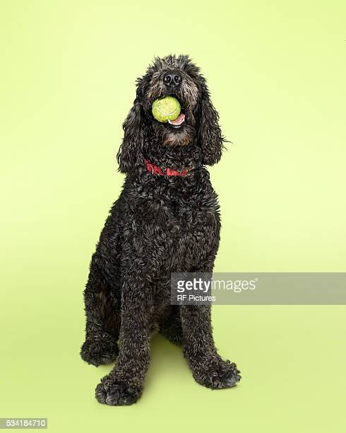 labradoodle dog with tennis ball - labradoodle stock photos and pictures