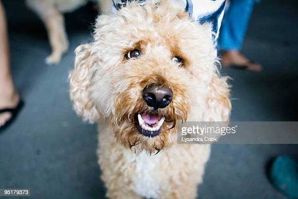 labradoodle face - labradoodle stock photos and pictures