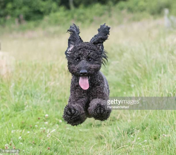 Running Mini Labradoodle