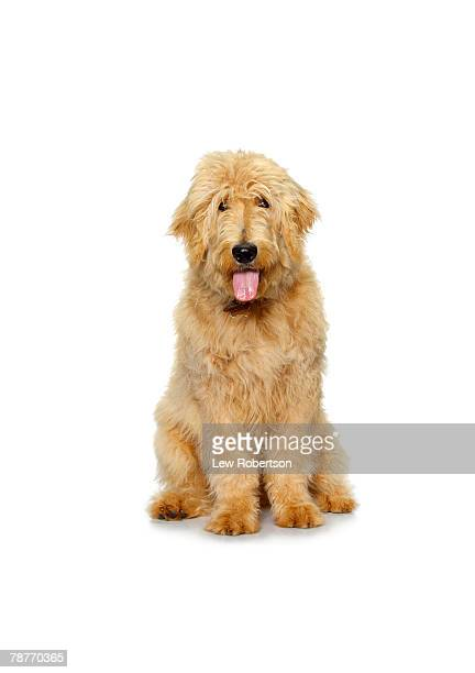 labradoodle - labradoodle stock photos and pictures