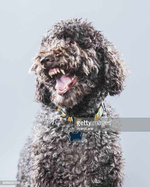 labradoodle portrait - labradoodle stock photos and pictures