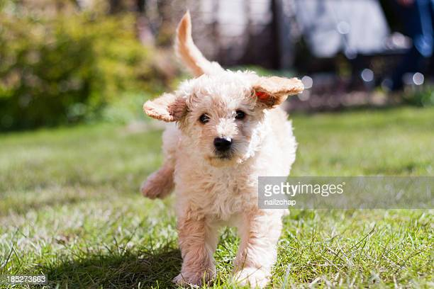 labradoodle puppy at play - labradoodle stock photos and pictures