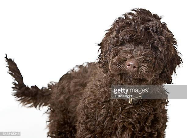 labradoodle puppy - labradoodle stock photos and pictures