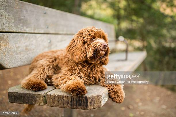 labradoodle puppy relaxing on park bench - labradoodle stock photos and pictures