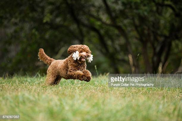 labradoodle puppy running with toy - labradoodle stock photos and pictures