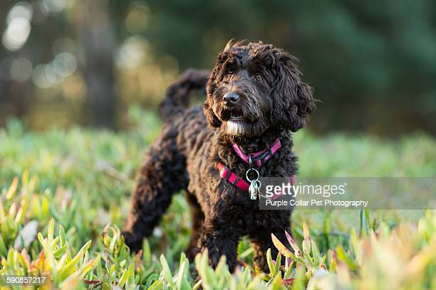 labradoodle puppy standing in ice plant outdoors - labradoodle stock photos and pictures
