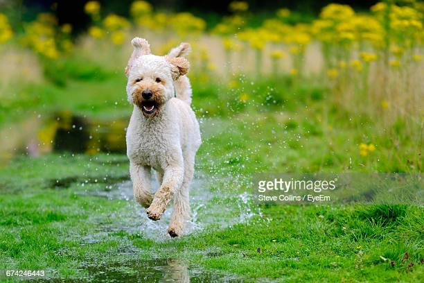 labradoodle running on wet grassy field - labradoodle stock photos and pictures