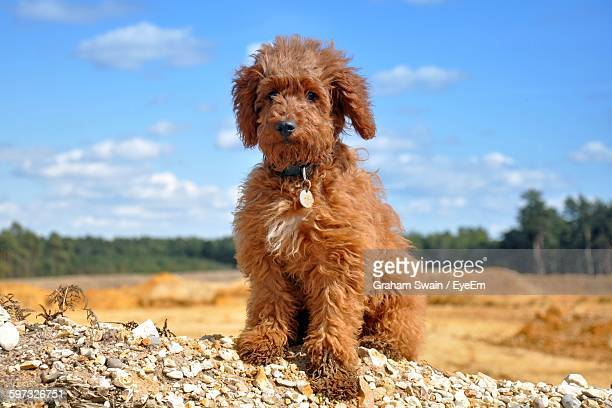 labradoodle sitting on field against sky - labradoodle stock photos and pictures