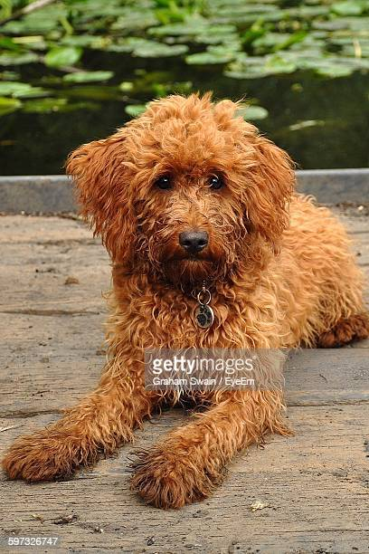 labradoodle sitting on pier over lake - labradoodle stock photos and pictures