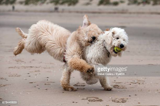 labradoodles playing with ball at beach - labradoodle stock-fotos und bilder