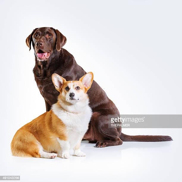 Labrador and corgi dogs