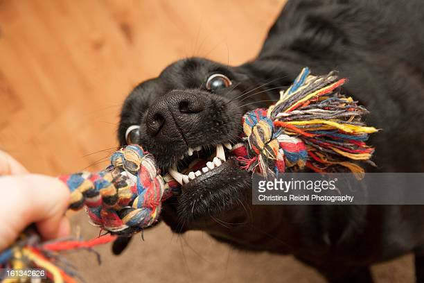 Labrador and Tug Toy