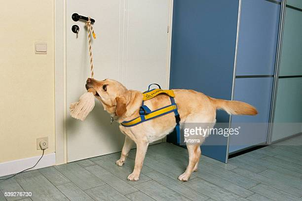 Labrador assistance dog with harness opening a living room door by tugging rope as help for disabled people