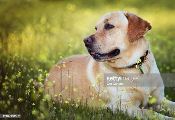 labrador dog in a flower field - cris cantón photography fotografías e imágenes de stock