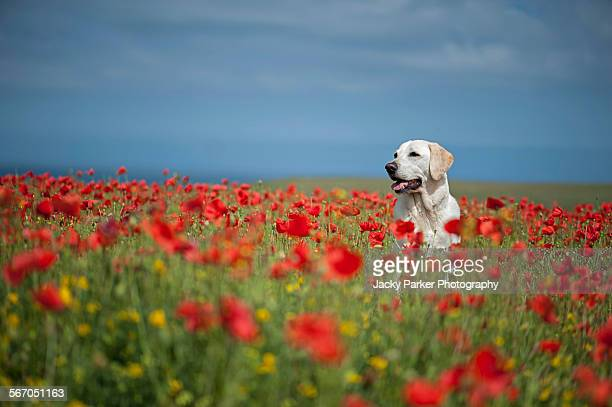 labrador dog in red poppy field - memorial day dog stock pictures, royalty-free photos & images