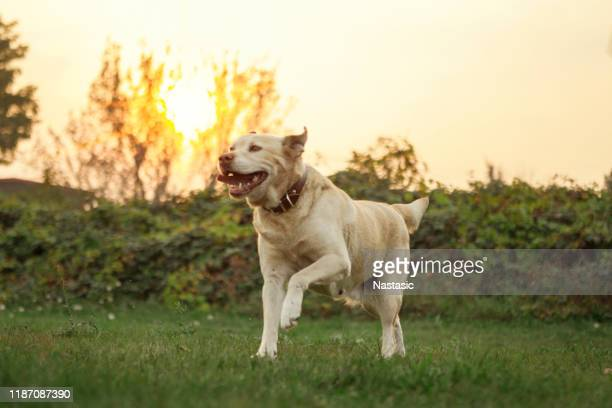 labrador dog on a playground - labrador retriever stock pictures, royalty-free photos & images