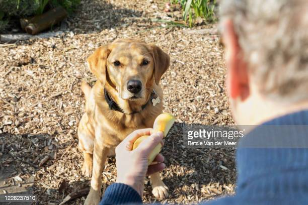 labrador dog waits for treat in allotment. - looking over shoulder stock pictures, royalty-free photos & images