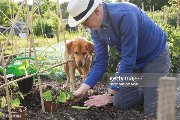 labrador dog watches her pet owner plant bean plant in ground. - mature adult stock pictures, royalty-free photos & images