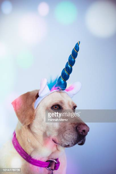 labrador dog wearing a unicorn horn - unicorn stock pictures, royalty-free photos & images