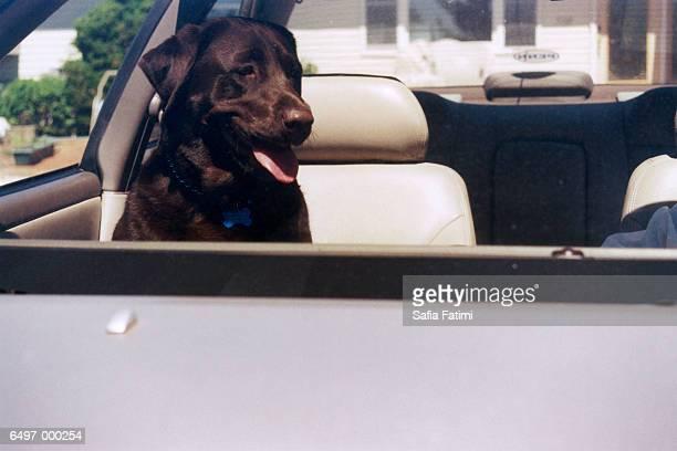 Labrador in Automobile