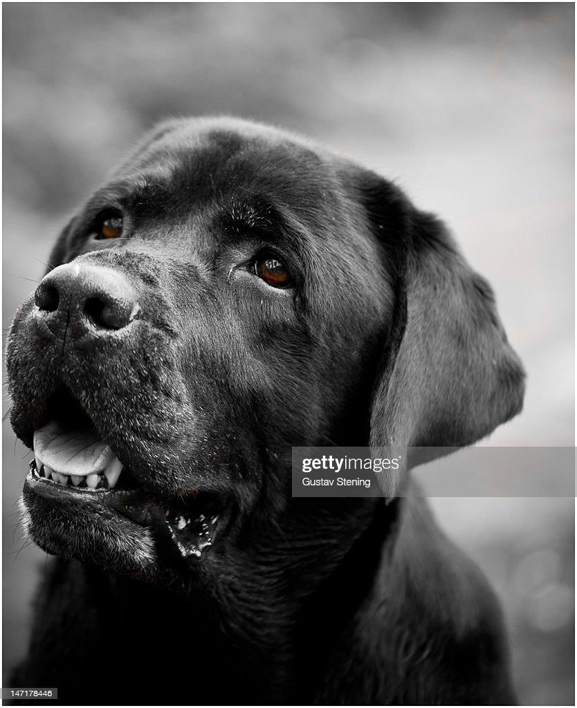 Labrador in balck and white : Stock Photo
