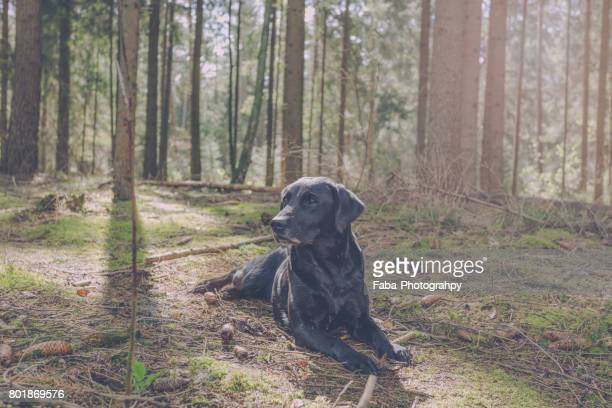 Labrador in the Woods